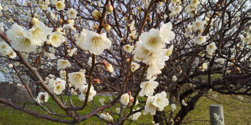 うめの花イメージ