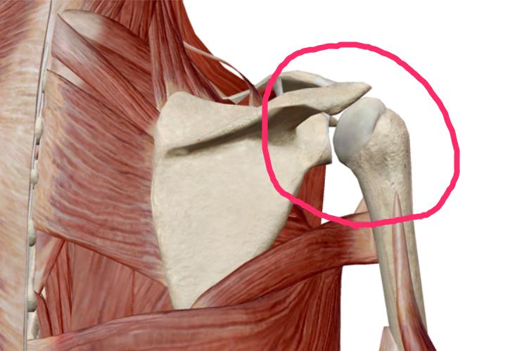 肩の構造のイラスト