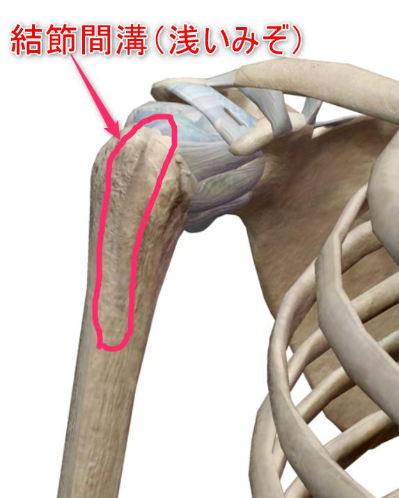 上腕骨のイメージ