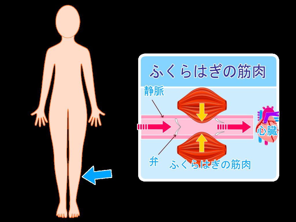 ふくらはぎの収縮が静脈血の流れを促すイメージ