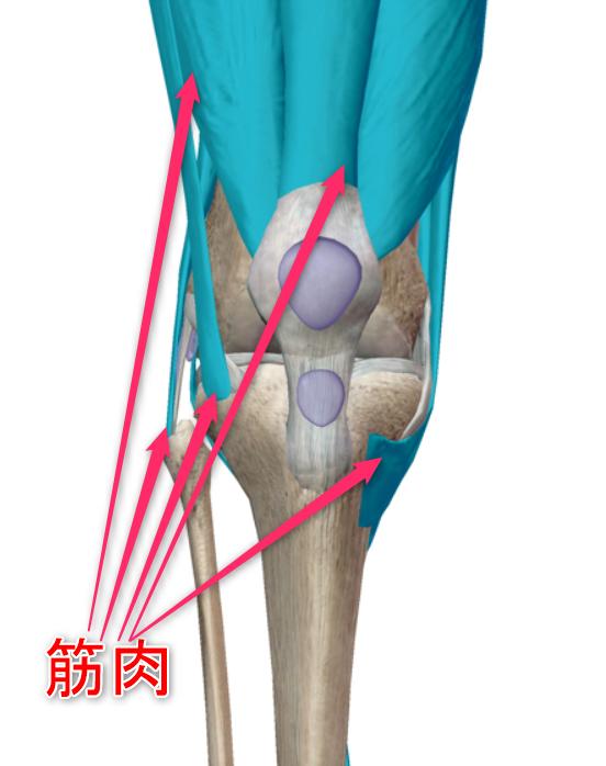 膝の筋肉のイメージ